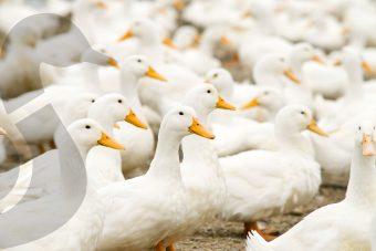 5 faits sur le canard